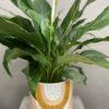 Rainbow pot plant