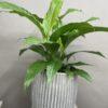 Indoor plant delivery Mount Eliza