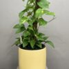 Devils ivy indoor plant